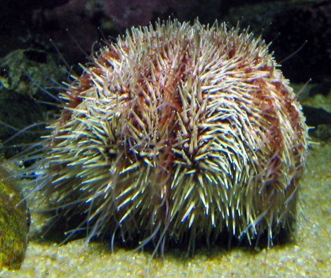 A live sea urchin on the sea floor