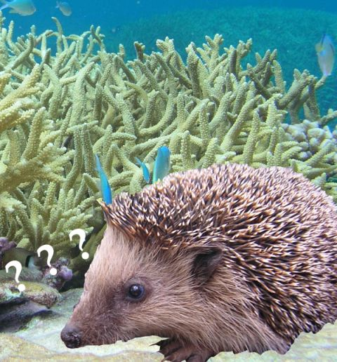 Composite image of hedgehog and underwater coral reef