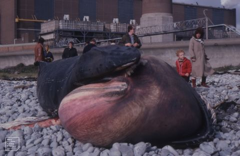 Photo of Humpback Whale stranded on Aberthaw beach in 1982, taken by Mary Gillham