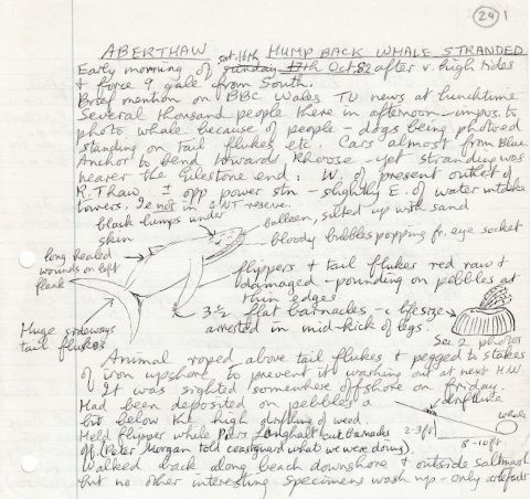 Notes about discovery of Humpback Whale stranded on Aberthaw beach in 1982, by Mary Gillham