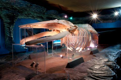 Aberthaw Humpback Whale on display in National Museum Cardiff