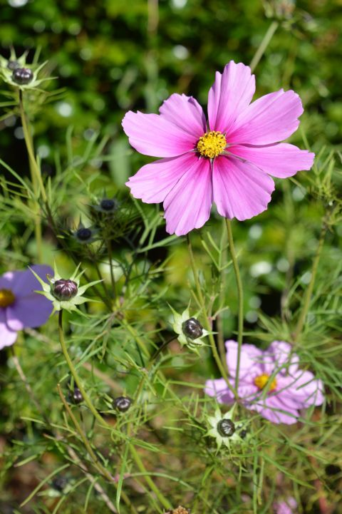 Image: Cosmos Flower