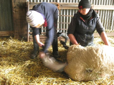 image: in the lambing shed