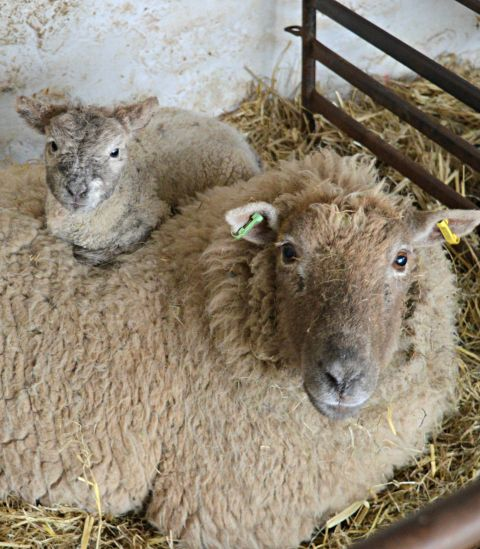 Image: Ewe and lamb