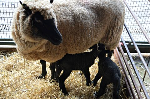 Image: Ewe and lambs