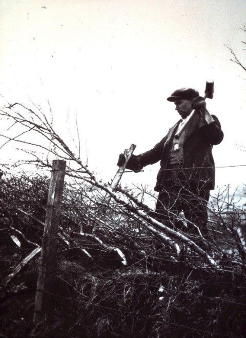 Hedgelaying, Pen-y-cae, Brecknockshire, c1936