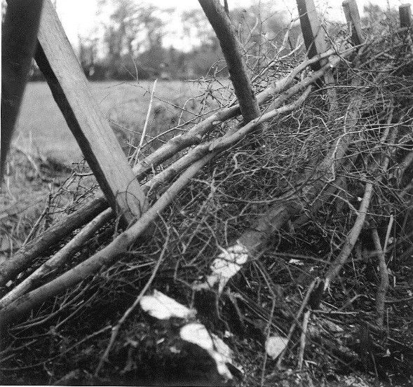 Photo of hedge showing pleachers woven between stakes.
