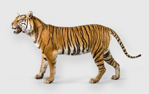 Photograph of Bryn, a Sumatran Tiger specimen which is part of the natural history collection at National Museum Cardiff
