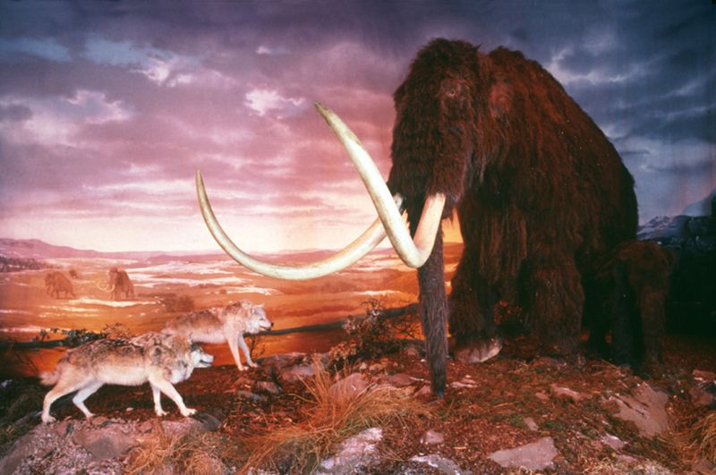 Photograph of museum diorama showing a mammoth protecting her calf from a pack of wolves