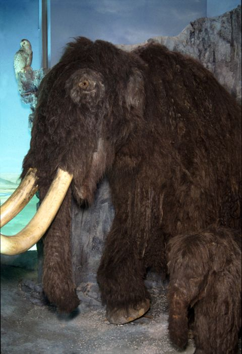 Photograph of museum diorama showing a mother and baby mammoth in a cave