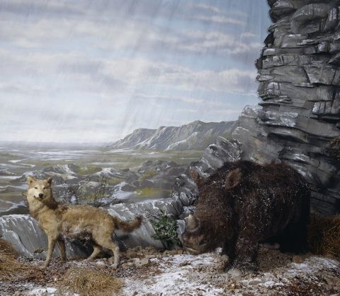 Photograph of museum diorama showing a woolly rhinoceros and a wolf in the ice age