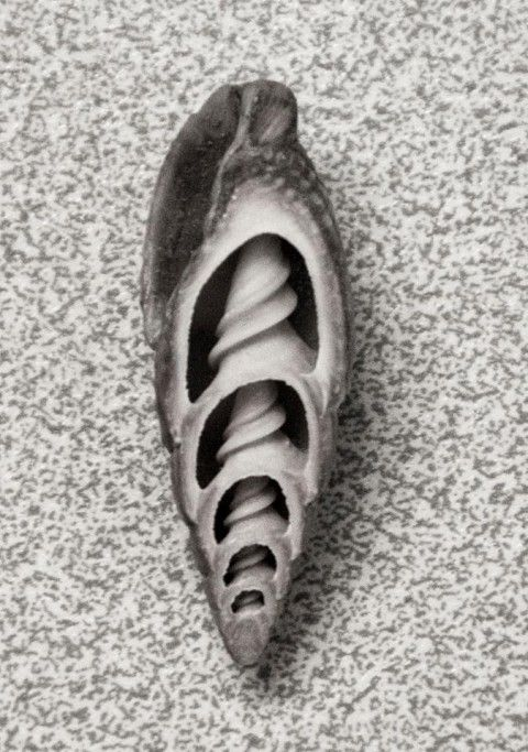 black and white photograph showing a single conical shell, cut to show its internal spiral structure