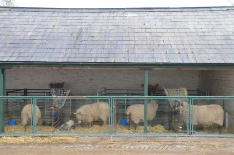 Image: Ewes and lambs in nursery pens