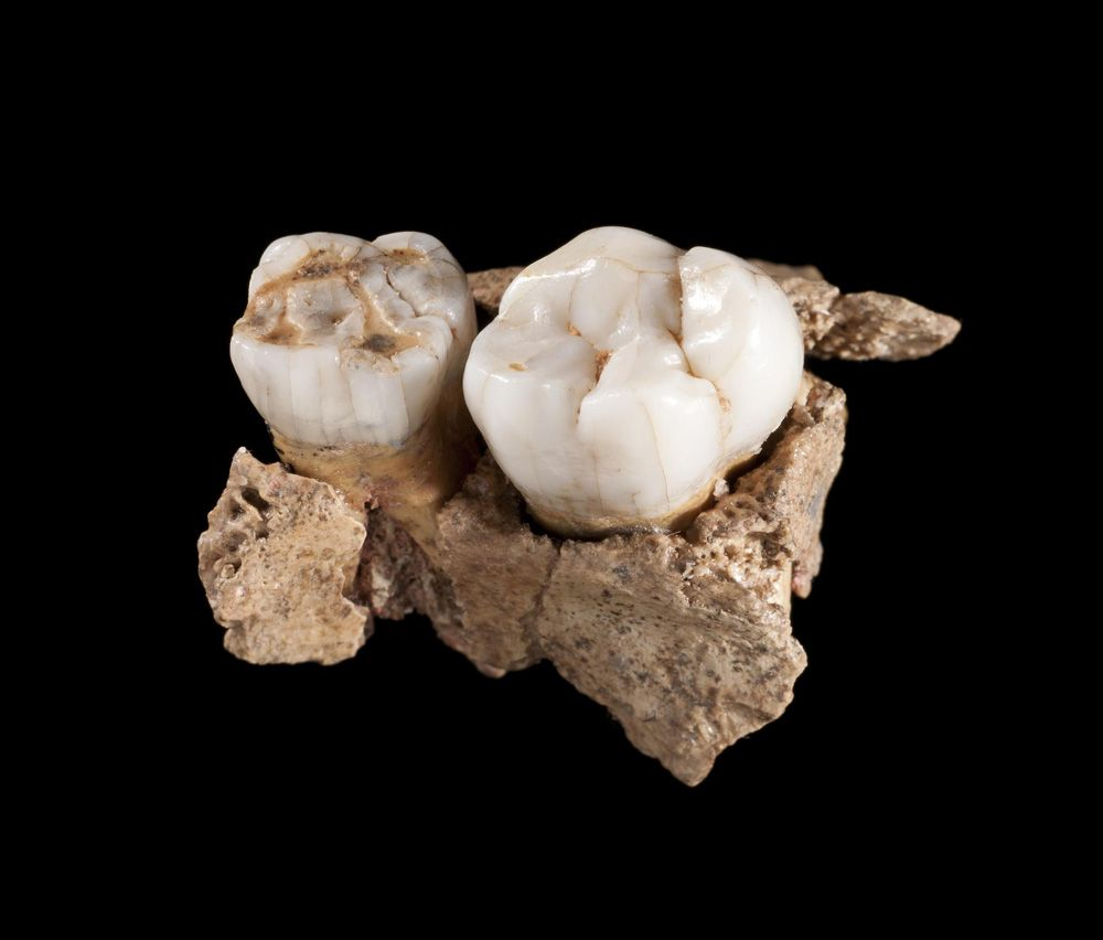 photograph of two teeth, belonging to a Neanderthal boy aged 8