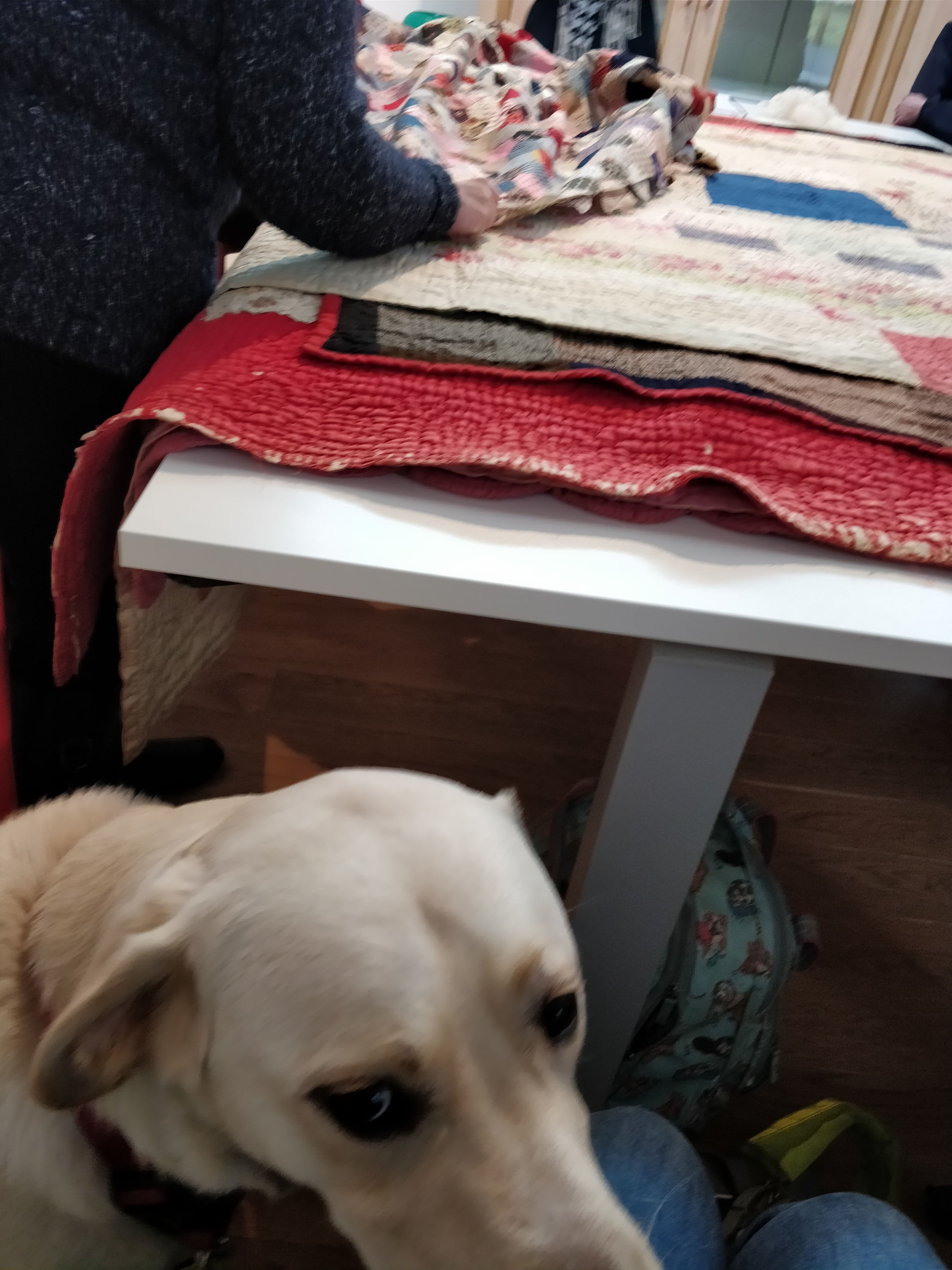 Guide Dog Uri with quilts from the handling collection in the background