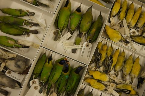 Bird specimens in a draw