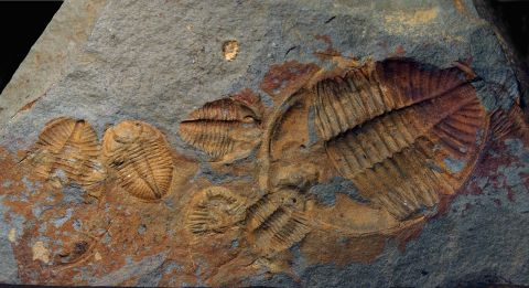 Ordovician trilobites <em>Ogygiocarella</em> from Builth Wells