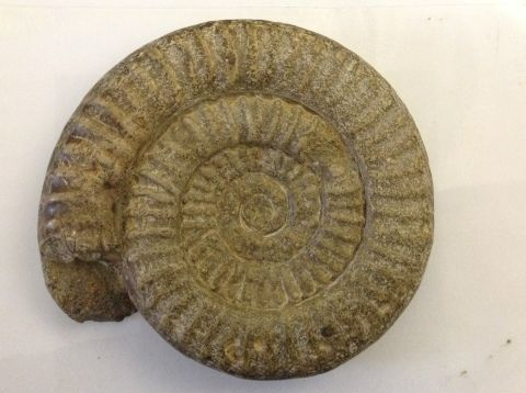 photograph of ammonite fossil