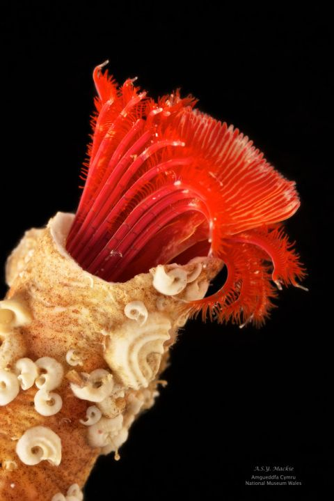 Stunning fan worm, Serpula vermicularis from West Ireland showing protective calcium carbonate tube (Andy Mackie, NMW)