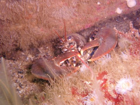 Common European Lobster, Homarus gammarus. Like other crustaceans they  have a hard exoskeleton strengthened with both calcium carbonate and calcium phosphate (Teresa Darbyshire, NMW)