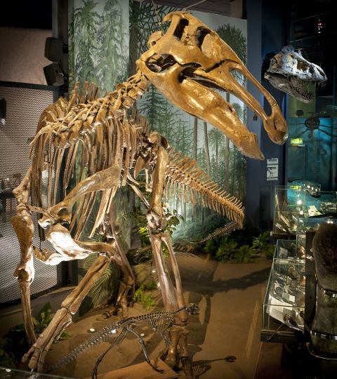 Edmontosaurus dinosaur skeleton in our Evolution of Wales gallery, made of calcium phosphate.