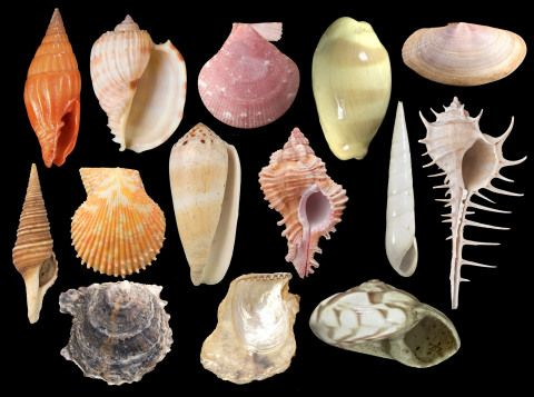 A selection of marine shells from all over the world from the museum's Mollusca collection