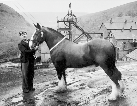 'Able' of Glyncorrwg Colliery - second place in Merthyr Horse Show, June 1955.