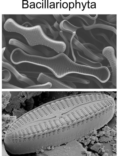 Scanning electron micrograph images of diatoms: Tabellaria (top) and Oricymba (bottom).