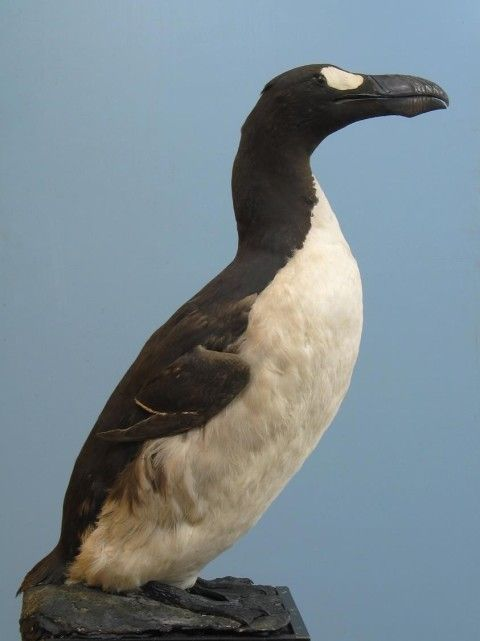 The use of arsenic has helped preserve historical taxidermy specimens such as the museums specimen of the extinct Great Auk offering a window into our lost biodiversity.