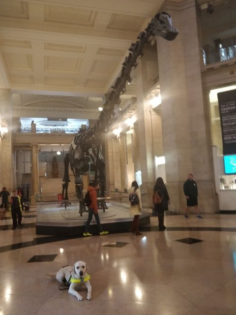 Guide Dog Uri at National Museum Cardiff with Dippy the dinosaur behind him