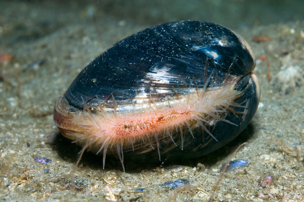 Meet Ming The Clam The Oldest Animal In The World