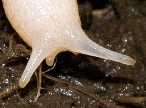 Close-up of the Ghost Slug's head.