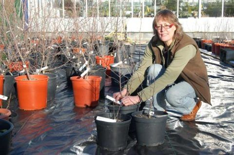 Jess Gould potting on young <em>Sorbus stirtoniana </em> at the National Botanic Gardens of Wales.