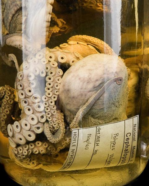 Cephalopod Collection of W. Evans Hoyle