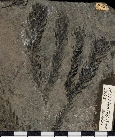 The leafy shoot of a giant lycophyte from the Upper Carboniferous Llantwit Beds of Beddau, south Wales.