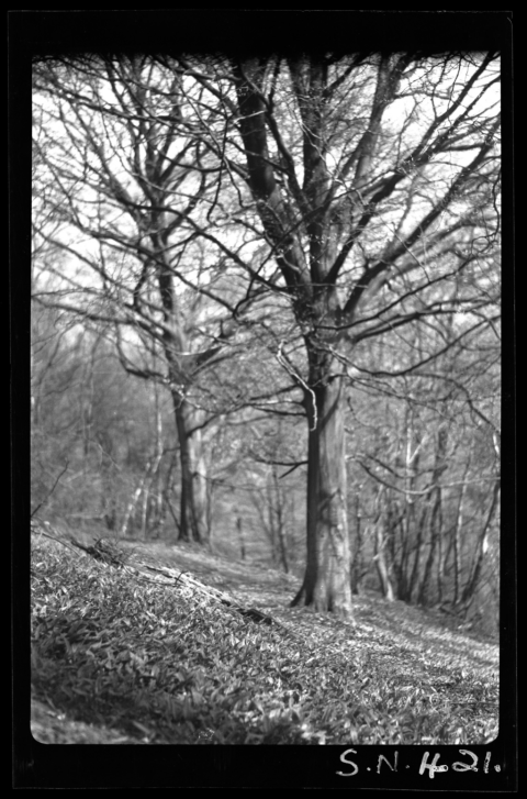 Beech trees (Fagus sylvatica L.), Little Garth, near Cardiff, 1936